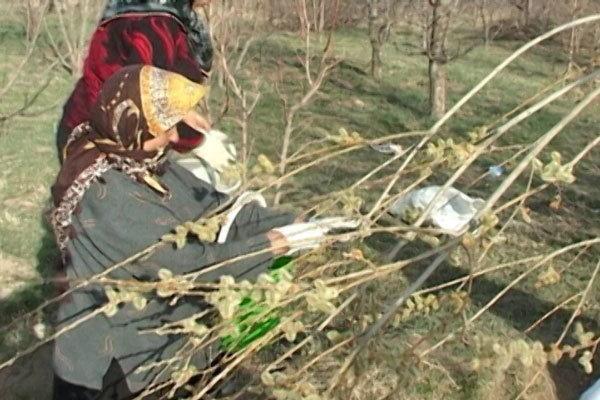 سالانه 1.5 میلیون لیتر عرق بیدمشک در آذربایجان غربی فراوری می گردد
