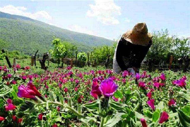 کشت 70 گونه گیاه دارویی در 31 استان