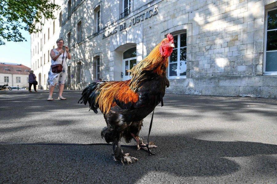 خروس فرانسوی به دادگاه می رود