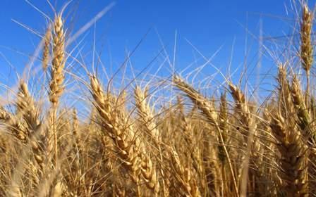 افزایش نرخ جو در برابر گندم ، زنگ خطر برای فراوری گندم به صدا در آمد