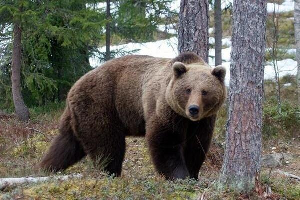 مصدوم شدن چوپان کوهرنگی بر اثر حمله خرس