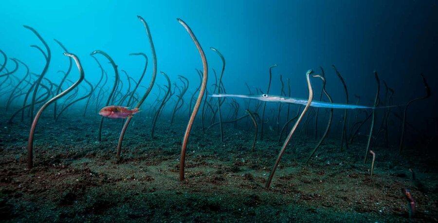 عکس روز: مارماهی ها در کف دریا