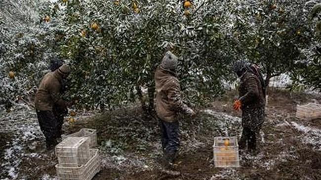 صادرات فعلی میوه متناسب با هزینه های فراوری نیست