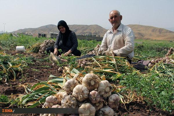 اختصاص 1400 هکتار از اراضی زراعی طارم به کشت سیر