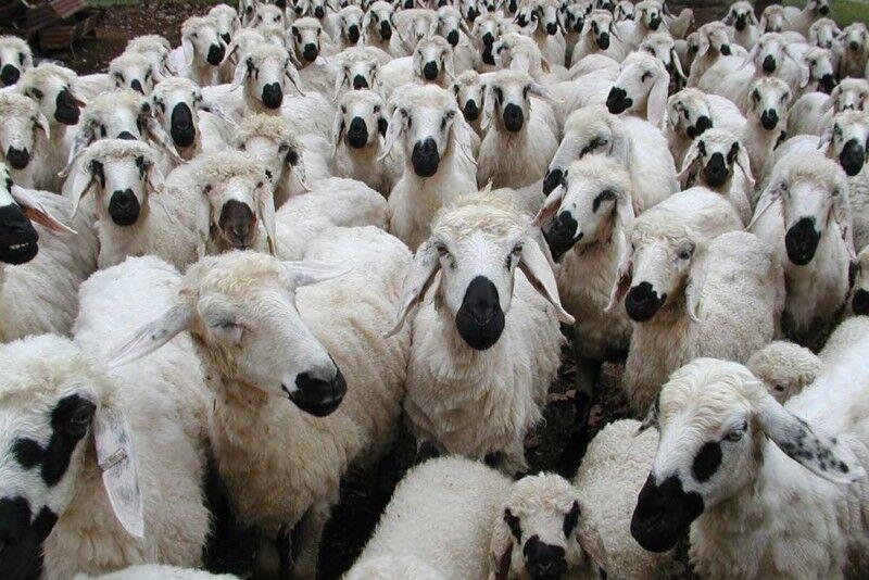 واردات حیوانات از کشور های آلوده به کرونا ممنوع شد