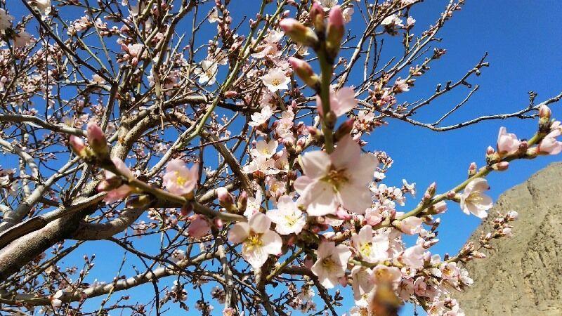 خبرنگاران گل دهی درختان بادام در مهریز