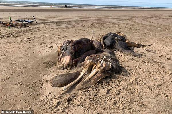 لاشه ترسناک یک حیوان ناشناخته دانشمندان را متحیر کرد (تصاویر)