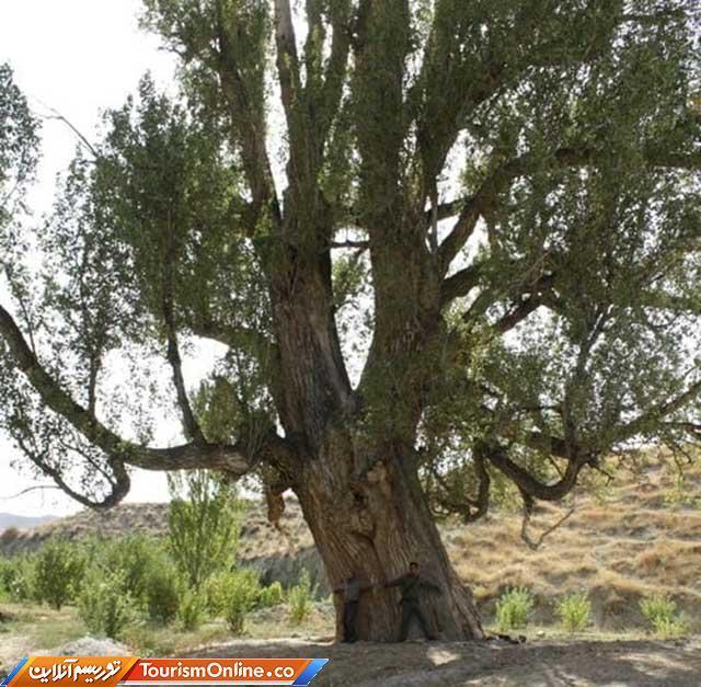 درخت کهنسال صنوبر نظرعلی
