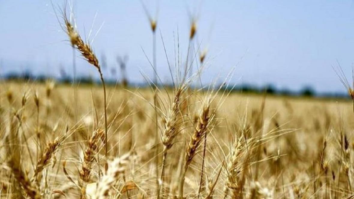 رشد 30 درصدی خرید گندم مازاد بر احتیاج کشاورزان در زنجان