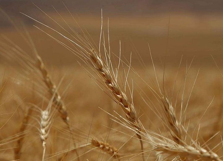هشدار درباره کاهش فراوری گندم در سال آینده، دولت خبری از کاهش مصرف کود و پوکی گندم ها ندارد؟