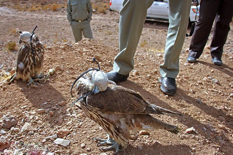 خبرنگاران کشف کوخت پرندگان شکاری در بندرگز