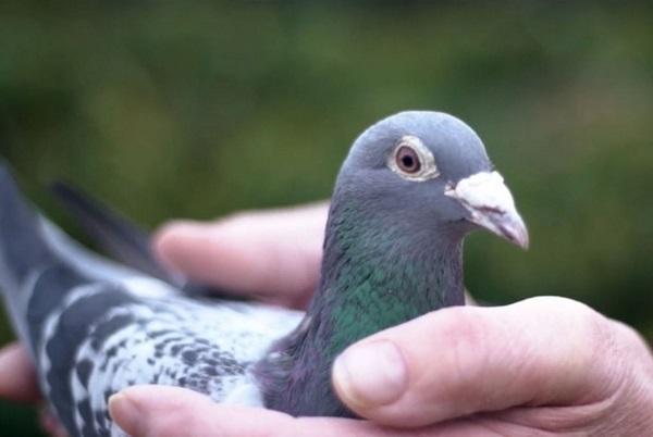حدود 2 میلیون دلار قیمت کبوتری در بلژیک
