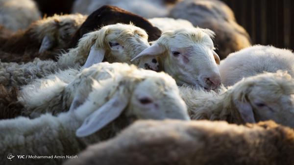 مازاد 300 هزار راس گوساله در واحدهای دامداری، خرید تضمینی و صادرات دام راهی برای نجات صنعت دامپروری